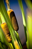 Cattail Reeds Stock Photos