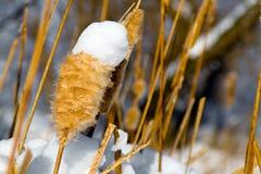 Cattail secado en la nieve Foto de archivo libre de regalías