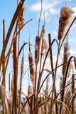 Cattail secado mullido fotos de archivo