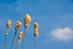 Cattail Seed Heads. Bursting cattail seed heads against a blue sky stock photo