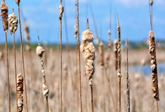 Cattail Seed Heads. Bursting cattail seed heads on a river, against a blue sky stock photo