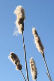 Cattail seeds Stock Image