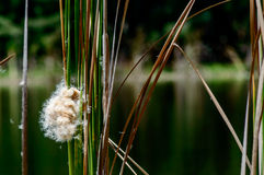 Cattail shedding Stock Photo