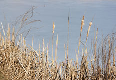 Cattail - RAW format Stock Image