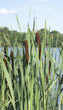 Cattail on the shore Royalty Free Stock Photo