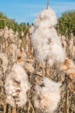Cattail Spikes with Fluff -3 Royalty Free Stock Photo