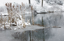 Cattail stalks in a frozen pond covered in fresh snow. Royalty Free Stock Images