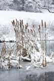 Cattail stalks in a frozen pond covered in fresh snow. Royalty Free Stock Photos