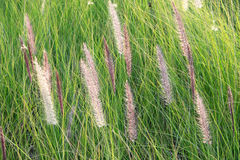 Cattail standing. Cat tail standing against wind Royalty Free Stock Images