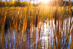 Cattail in swamp. Autumn landscape with cattail on the lake in the sunlight royalty free stock image