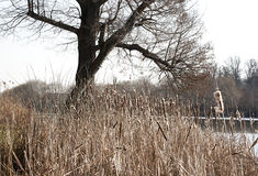 Cattail and tree Stock Photo