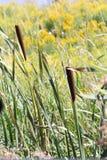 Cattail (Typha) Imagem de Stock