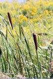 Cattail (Typha) Stock Image