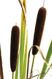 Cattail (Typha), close-up Stock Photo
