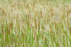 Cattail Royalty Free Stock Images