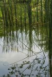 Cattail water plants reflecting on the surface of a pond in Thailand. royalty free stock photography