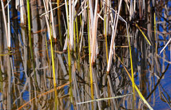 Cattail in water. Cattail on a river, with a blue sky stock photos