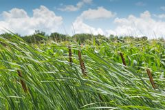 Cattail on a windy day. With blue sky and white clouds in the background Royalty Free Stock Image