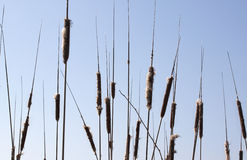 Cattail - RAW format Royalty Free Stock Photo