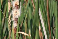 Cattails που ανθίζει σε ένα έλος κατά τη διάρκεια της εποχής πτώσης Στοκ Φωτογραφίες
