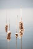 Cattails πριν από τη θύελλα Στοκ εικόνα με δικαίωμα ελεύθερης χρήσης