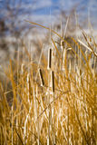 cattails χειμώνας Στοκ φωτογραφίες με δικαίωμα ελεύθερης χρήσης