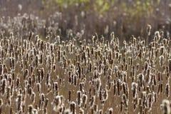 Cattails в заболоченном месте Стоковая Фотография
