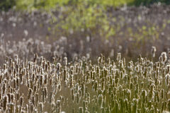 Cattails в заболоченном месте Стоковое Изображение RF
