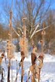 Cattails в зиме Стоковая Фотография RF