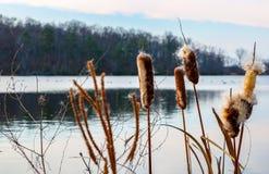 Cattails вдоль резервуара Стоковые Изображения RF