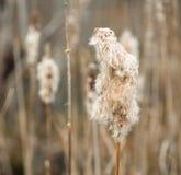 Cattails в последнем падении стоковое фото