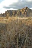 cattails дезертируют высокое vert Стоковые Изображения