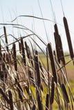 Cattails и тростники стоковое фото rf