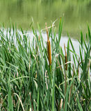 Cattails, тростники и озеро Стоковые Изображения