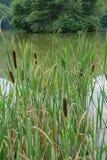 Cattails, тростники и озеро Стоковые Фотографии RF