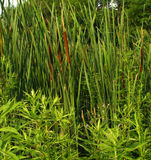 Cattails. Reeds in swampy area stock photo