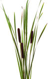 Cattails Photo stock
