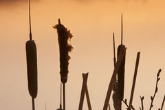 Cattails. Sunrise on cattails in pond Stock Images