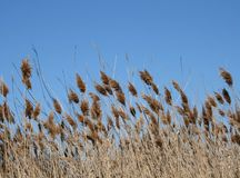Cattails. Blowing in wind against clear blue sky Royalty Free Stock Photography