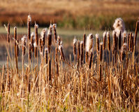 Cattails Images libres de droits