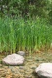 Cattails Stockfoto