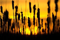Cattails stock foto