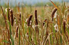 Cattails Image stock