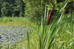 Cattails Fotografie Stock