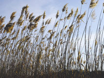 Cattails Immagine Stock
