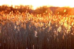 Cattails agains de zon Stock Foto