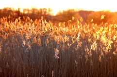 Cattails agains the sun. Sun lit cattails by the lake. brilliant golden cat tails backlit from the golden sun Stock Photo