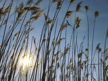 Cattails Stock Photography