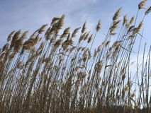Cattails Royalty Free Stock Photo