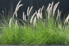 Cattails. Against black back ground Stock Photography